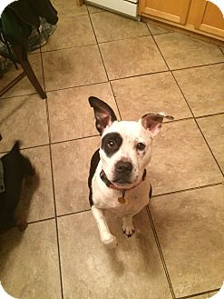 Pit Bull Terrier/Pointer Mix Dog for adoption in albany, New York - MINNI