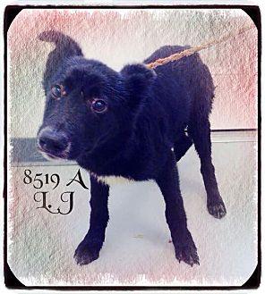 Labrador Retriever Mix Dog for adoption in Dillon, South Carolina - LJ