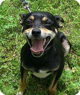 Manchester Terrier/Miniature Pinscher Mix Dog for adoption in Allentown, Pennsylvania - Parker