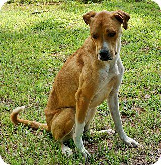 Labrador Retriever Mix Dog for adoption in Murphysboro, Illinois - Steve-O