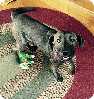 Mountain Cur/Italian Greyhound Mix Dog for adoption in Jersey City, New Jersey - Cecily Strong