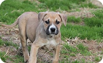 Boxer/Hound (Unknown Type) Mix Puppy for adoption in Marion, North Carolina - Moose