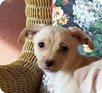 Terrier (Unknown Type, Small) Mix Puppy for adoption in Bend, Oregon - Max - Puppy!