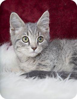 Domestic Shorthair Kitten for adoption in Nashville, Tennessee - Mellon