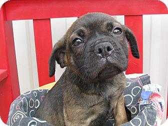 Pug Mix Puppy for adoption in Groton, Massachusetts - Paris