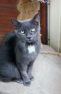 Domestic Shorthair Cat for adoption in Montreal, Quebec - Curly