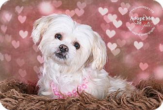 Maltese Mix Dog for adoption in Cincinnati, Ohio - Angel - pending