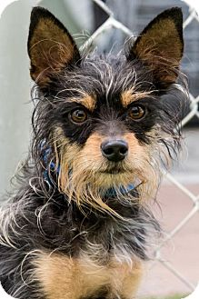 Yorkie, Yorkshire Terrier/Miniature Pinscher Mix Dog for adoption in Miami, Florida - Cory