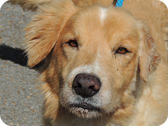 Golden Retriever/Labrador Retriever Mix Dog for adoption in Allentown, Pennsylvania - Buddy