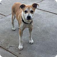 Adopt A Pet :: Lorelei - San Diego, CA