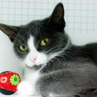Domestic Shorthair/Domestic Shorthair Mix Cat for adoption in Belleville, Michigan - Beth