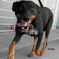 Adopt A Pet :: Rocky - Oskaloosa, IA