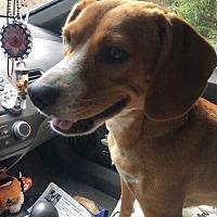 Adopt A Pet :: Belle - St.Ann, MO