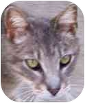 Egyptian Mau Cat for adoption in Lexington, Missouri - Sphynx