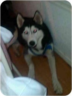 Husky Dog for adoption in Brewster, New York - Dakota