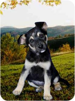 German Shepherd Dog Mix Puppy for adoption in Pasadena, California - Anita