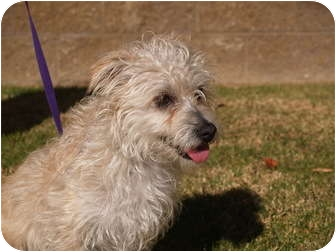 Terrier (Unknown Type, Small)/Poodle (Miniature) Mix Dog for adoption in El Cajon, California - Rascal