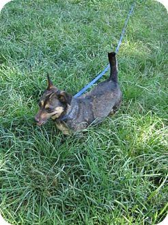Australian Cattle Dog/Terrier (Unknown Type, Medium) Mix Dog for adoption in Albany, New York - Sophie