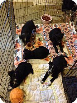 Border Collie/Spaniel (Unknown Type) Mix Puppy for adoption in Gustine, California - BORDER COLLIE SPANIEL PUPS