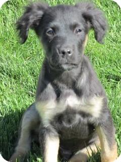 Spaniel (Unknown Type) Mix Puppy for adoption in Kalamazoo, Michigan - Harvey