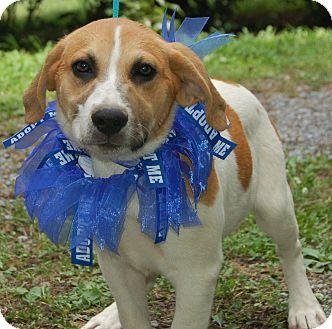 Labrador Retriever/Great Pyrenees Mix Puppy for adoption in Scranton, Pennsylvania - Tripper