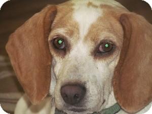 Beagle Dog for adoption in Yardley, Pennsylvania - Allie