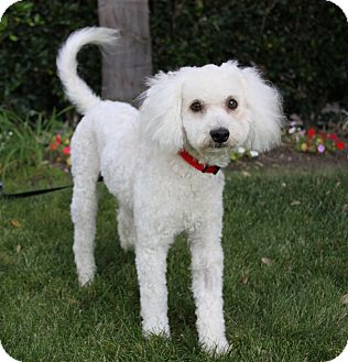 Poodle (Miniature)/Bichon Frise Mix Dog for adoption in Newport Beach, California - MCKINLEY
