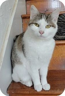 Domestic Shorthair Cat for adoption in Stuart, Virginia - Miss Kitty