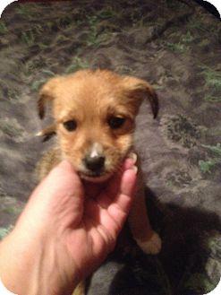 Havanese/Terrier (Unknown Type, Medium) Mix Puppy for adoption in Denver, North Carolina - Maggie