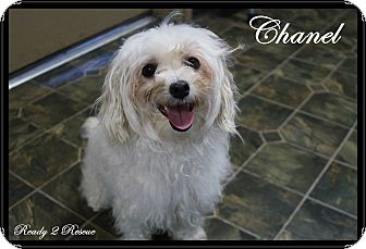 Maltese/Poodle (Miniature) Mix Dog for adoption in Rockwall, Texas - Chanel