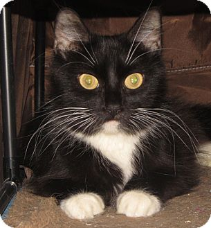 Domestic Longhair Cat for adoption in Walden, New York - Orchid