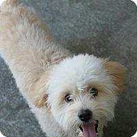 Adopt A Pet :: Kirby - mini goldendoodle - Phoenix, AZ