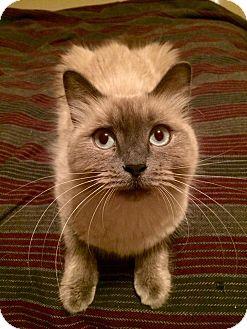 Himalayan Kitten for adoption in Ogden, Utah - Nala and Babies
