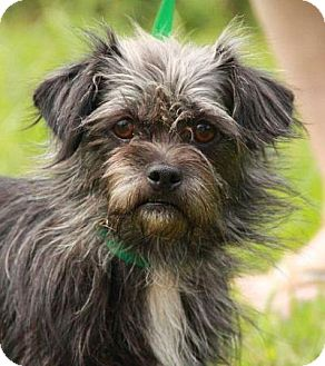 Yorkie, Yorkshire Terrier/Shih Tzu Mix Dog for adoption in Staunton, Virginia - Teenie