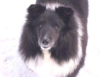 Sheltie, Shetland Sheepdog Mix Dog for adoption in Circle Pines, Minnesota - Maisie