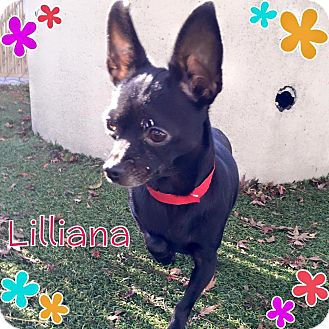 Chihuahua Mix Dog for adoption in Barriere, British Columbia - Lilliana - ADOPTION PENDING