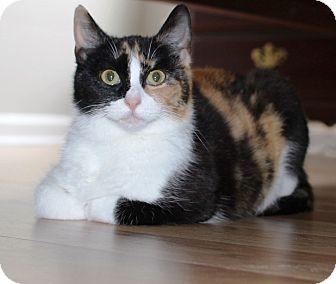 Calico Cat for adoption in Charlotte, North Carolina - Sprinkles
