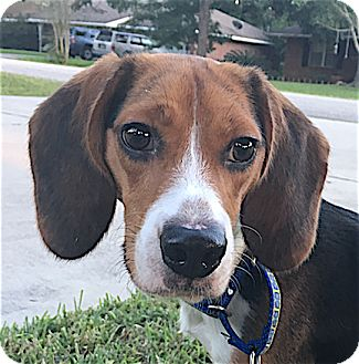 Beagle Dog for adoption in Houston, Texas - Timber