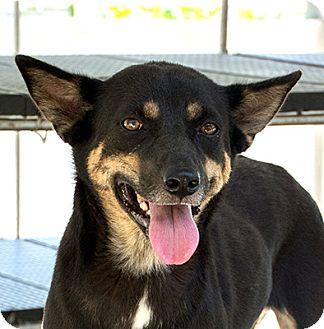 Shiba Inu Mix Dog for adoption in Long Beach, New York - Bianca