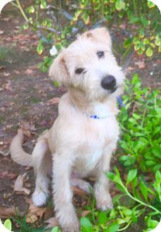 Border Terrier Mix Puppy for adoption in Irvine, California - KIARA