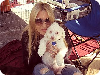 Poodle (Miniature)/Bichon Frise Mix Dog for adoption in Beverly Hills, California - Marlon Brando