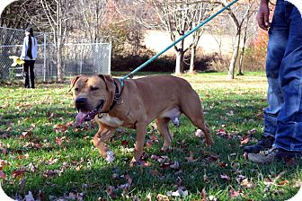 American Staffordshire Terrier/Mastiff Mix Dog for adoption in Broadway, New Jersey - Floyd