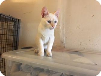 Siamese Kitten for adoption in Elk Grove, California - AXIS