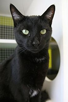 Domestic Shorthair Cat for adoption in Los Angeles, California - Sid