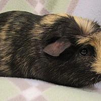 Adopt A Pet :: Tocco - Steger, IL