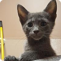 Adopt A Pet :: Ash - Reston, VA