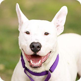 Bull Terrier/Terrier (Unknown Type, Medium) Mix Dog for adoption in Kettering, Ohio - Gaston
