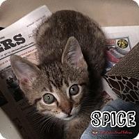 Adopt A Pet :: Spice - Bonsall, CA