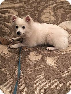 American Eskimo Dog Puppy for adoption in Castle Rock, Colorado - Aspen