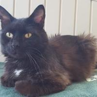 Domestic Longhair/Domestic Shorthair Mix Cat for adoption in Williamsport, Pennsylvania - Liam